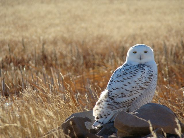 Snowy Owls House